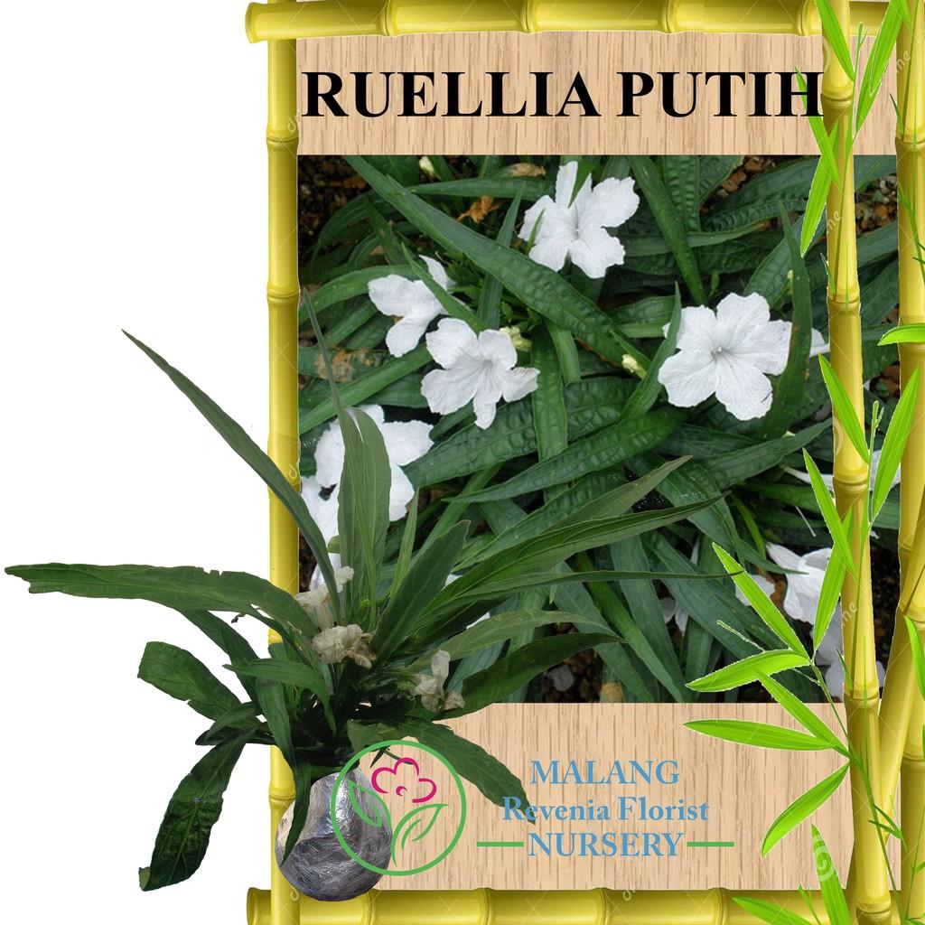Tanaman Ruellia Putih Shopee Indonesia Fisiden Moss Lempeng Air Aquascape Super
