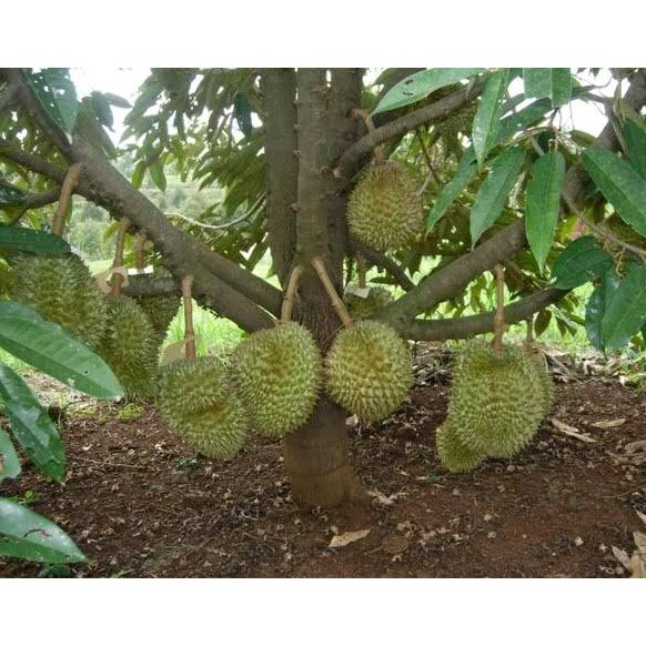 Download 570 Gambar Durian Musang King Original Keren Gratis HD
