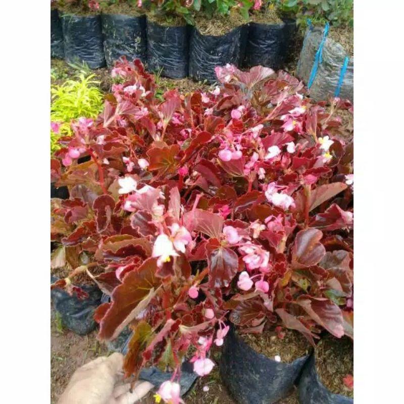 begonia mawar merah