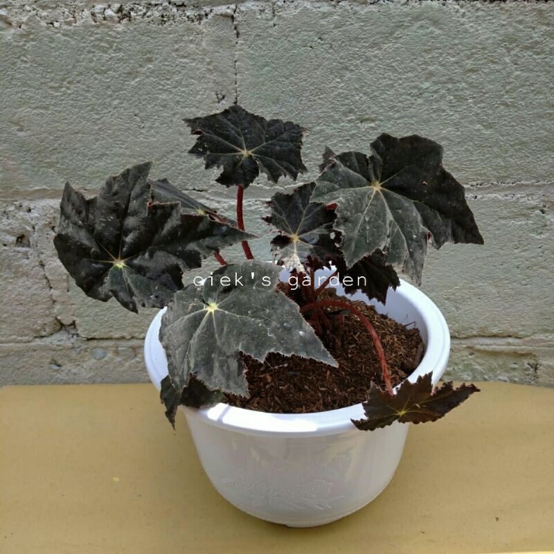 Begonia Bintang / Begonia Black Fang