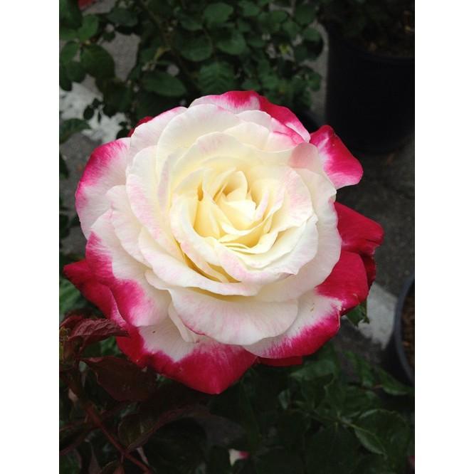 76+ Gambar Bunga Mawar Hitam Putih Keren Paling Cantik