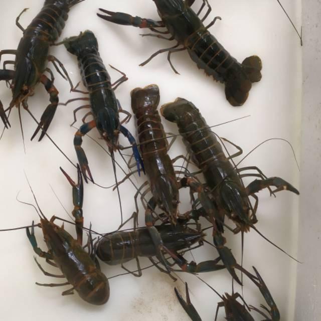 Indukan Lobster Air Tawar Ukuran 6 Inci Up Shopee Indonesia