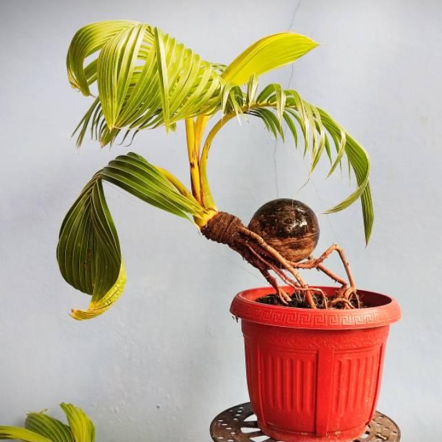 Bonsai Kelapa Kura Kura