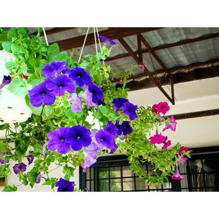 Tanaman Bunga Petunia Hybrida Pot Gantung Bibit Tanaman Hias Bunga Shopee Indonesia