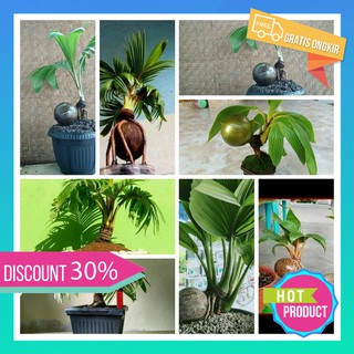 Bonsai Kelapa A7 Limited Stock Shopee Indonesia