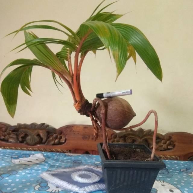 Bonsai Kelapa Minion Shopee Indonesia