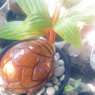 Bonsai Kelapa Sudah Jadi Shopee Indonesia