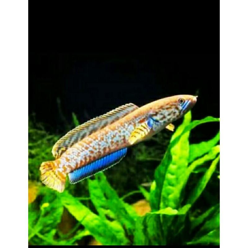 Ikan Gabus Hias Channa Bleheri Red Size 15cm Shopee Indonesia