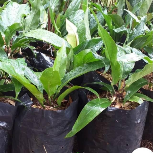 Bunga aglonema jemani bulu ayam / benih herbal / hiasan taman