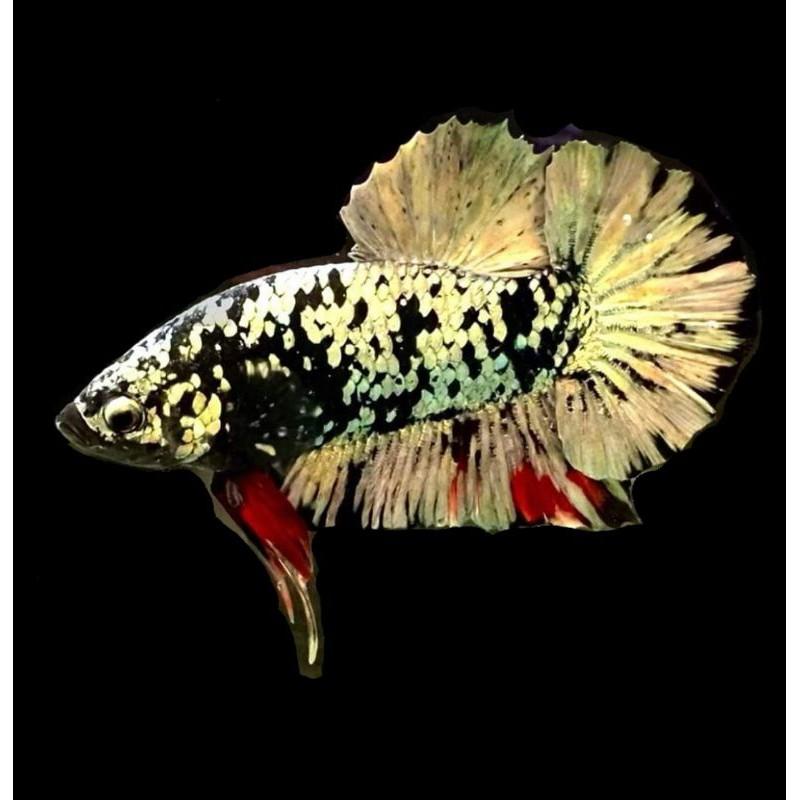 ikan cupang cooper gold line avatar gold