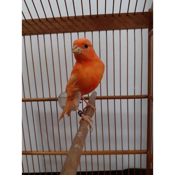 Burung kenari merlok (merah lokal)