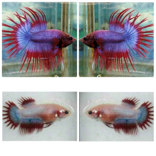 Jual Ikan Cupang Serit Crowntail Sepasang Male Female Shopee Indonesia
