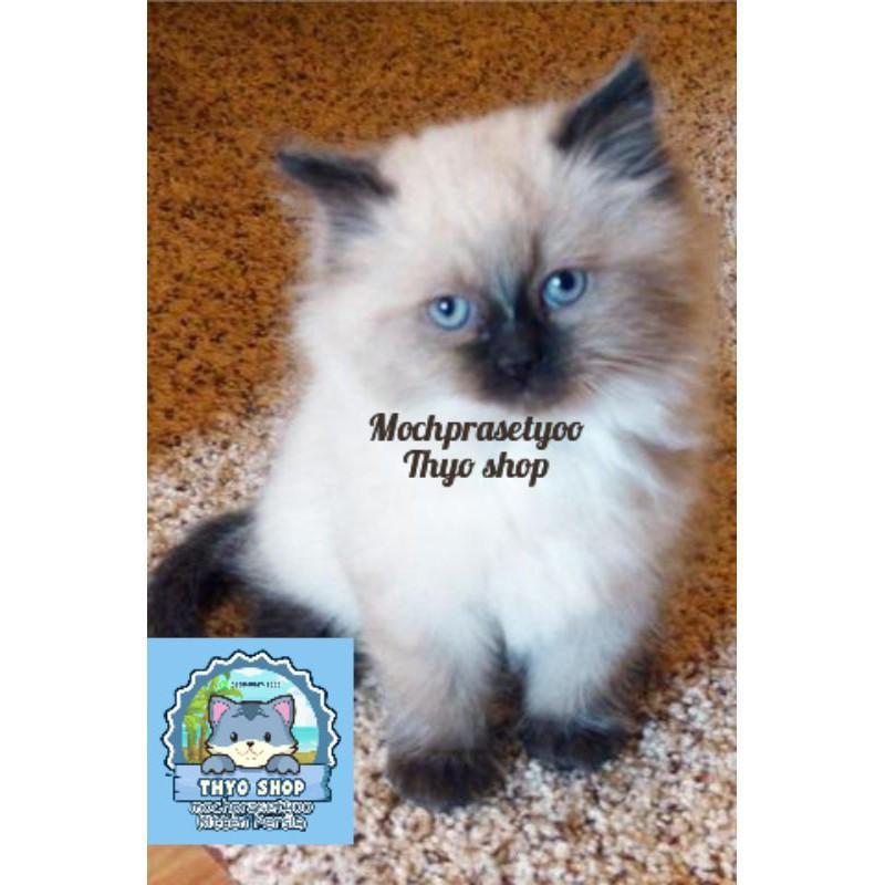 promo    kucing Persia Himalaya ragdoll / kucing anggora / kucing jantan Jakarta / kucing betina