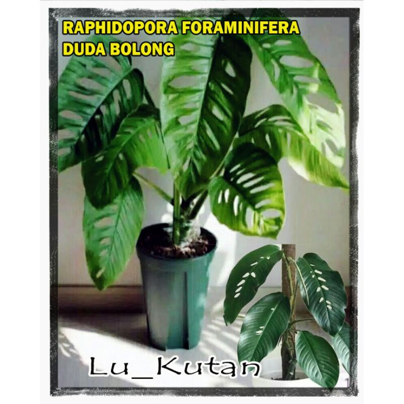 Tanaman Hias Monstera Raphidopora Foraminifera Duda Bolong Shopee Indonesia