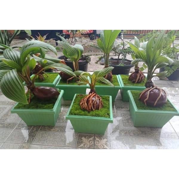 tanaman hias bonsai kelapa/bonsai unik/ bonsai kelapa tanaman asli hidup