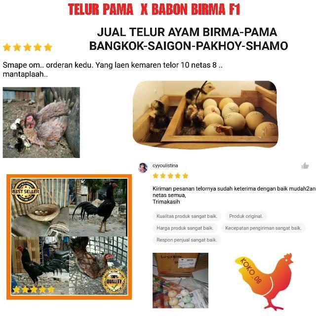 PAKET 6 BUTIR TELUR AYAM PAMA X BABON BIRMA ORIGINAL F1 BUKAN TELUR AYAM GANOI SHAMO BANGKOK BIRMA