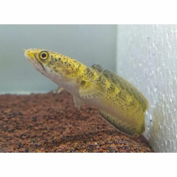 Channa Limbata golden Xantic Motif Leopard *RARE FISH