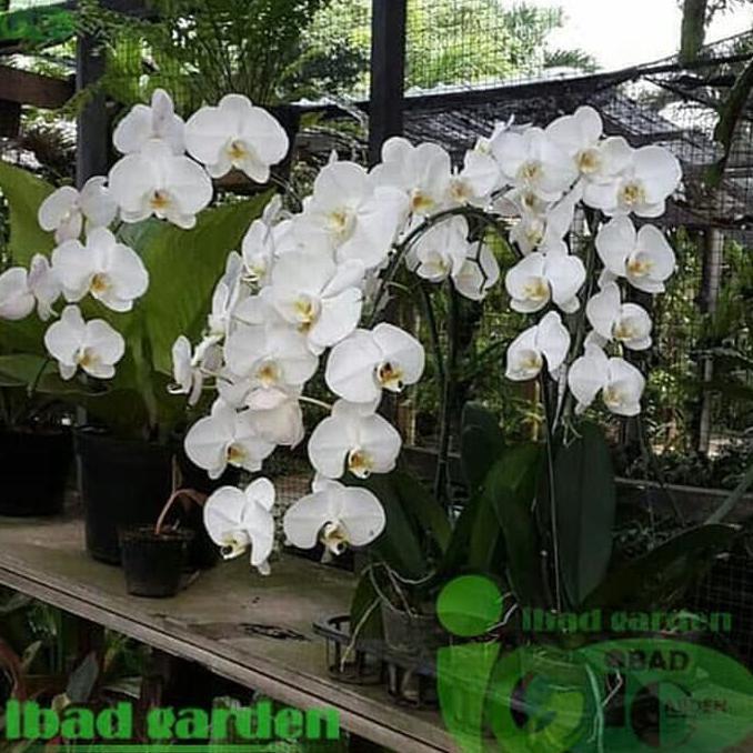 Tanaman Hias Bunga Anggrek Bulan Putih Kualitas Super Sedang Berbunga Shopee Indonesia