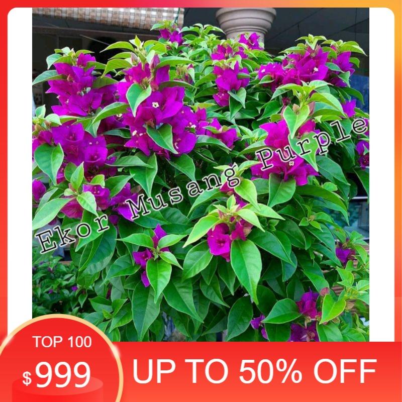 MURAH BANGET tanaman hias Bougenville ekor musang purple - Bunga Kertas Bugenvil