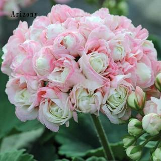 Perbandingan harga 20Pcs Bibit Bunga Geranium Geranium untuk Dekorasi Taman lowest price - only 8.245Rp