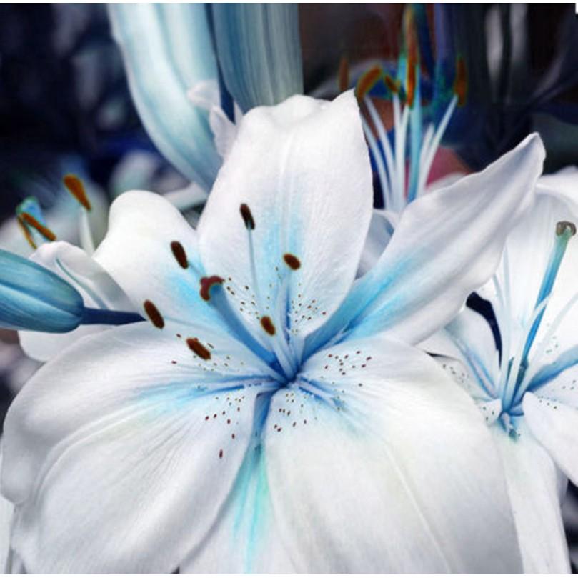 250 Pcs Bunga Lily Bulbs Warna Biru Untuk Dekorasi Taman Shopee Indonesia