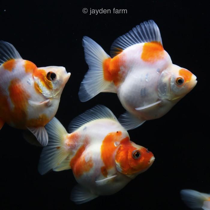 Ikan Mas Koki Ryukin Calico Sakura Shopee Indonesia