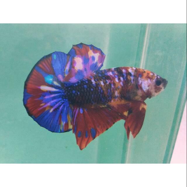 Ikan Cupang Hmpk Multi Color Aoc Class For Ibc Shopee Indonesia
