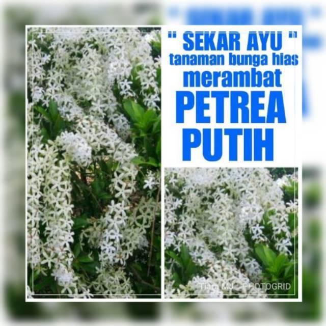 Bibit Tanaman Bunga Hias Merambat Petrea Putih Shopee Indonesia