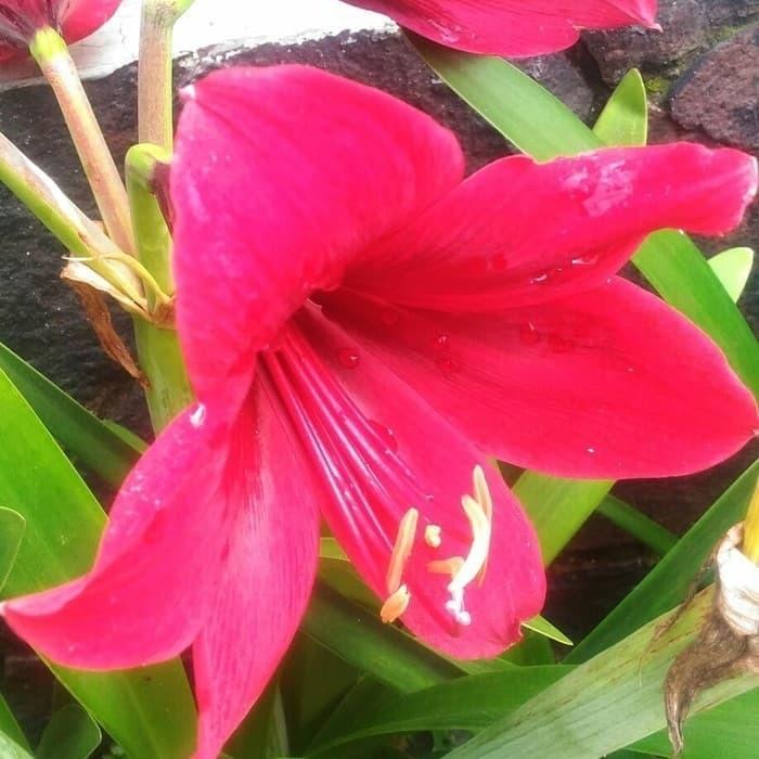 Pohon Tanaman Hias Bunga Bakung Merah Amarilis Merah Shopee