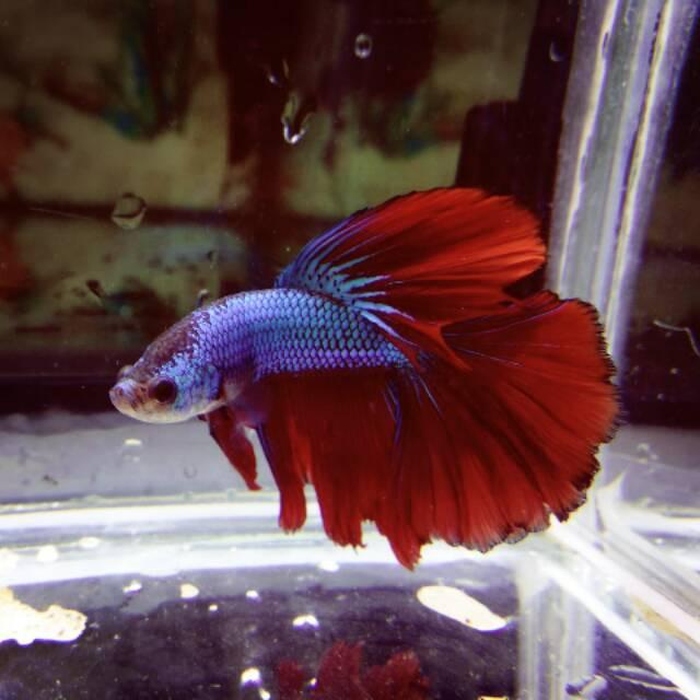 770+ Gambar Ikan Cupang Warna Pink Terbaik