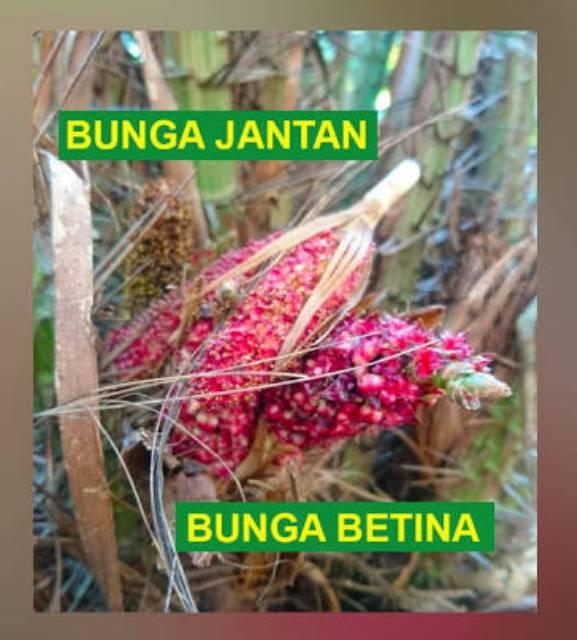 Bunga Salak Jantan Serbuk Salak Jantan Shopee Indonesia