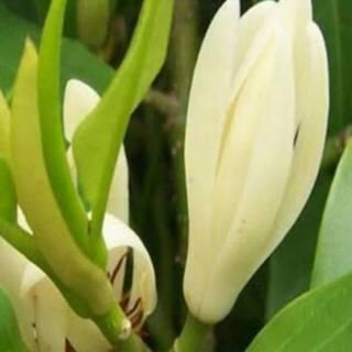 Tanaman Bunga Kantil Kuning Kantil Putih Shopee Indonesia