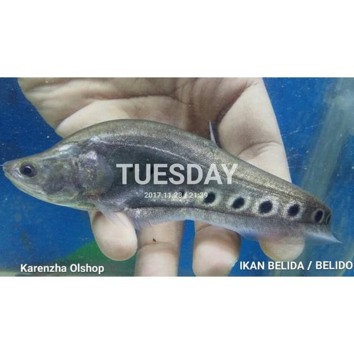Download 99 Koleksi Gambar Ikan Belida HD Gratis