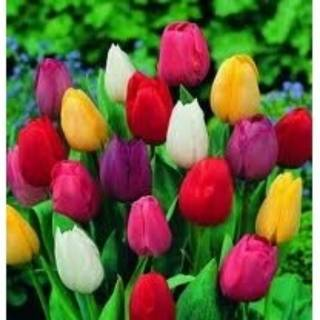 Download 6200 Gambar Bunga Tulip Warna Merah Gratis
