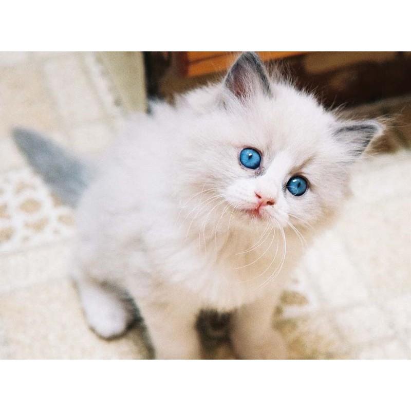 Minat anak kucing anggora asli