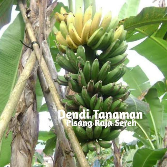 Kd Bibit Pohon Pisang Raja Sereh Buah Pisang Raja Shopee Indonesia