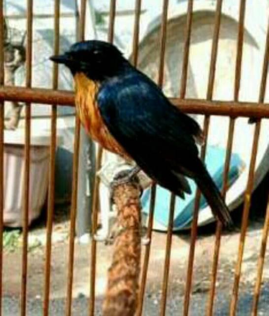 Burung Tledekan Bakau Jual Barter Kandang Khosan Yg Gurih Shopee Indonesia