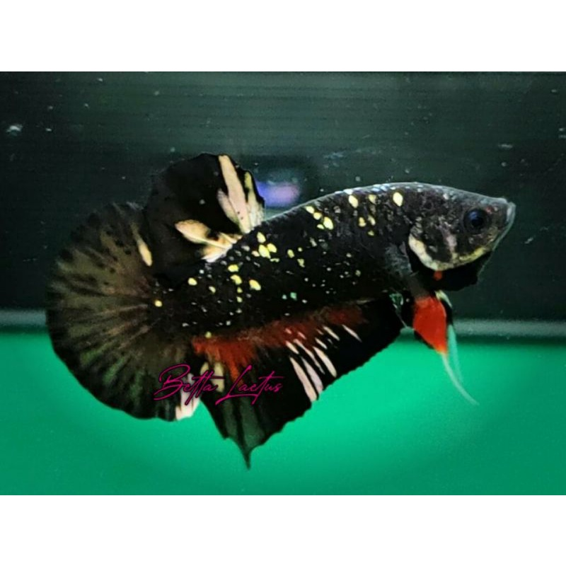Cupang Avatar Cooper Gold Ikan Cupang AVCG Top Grade