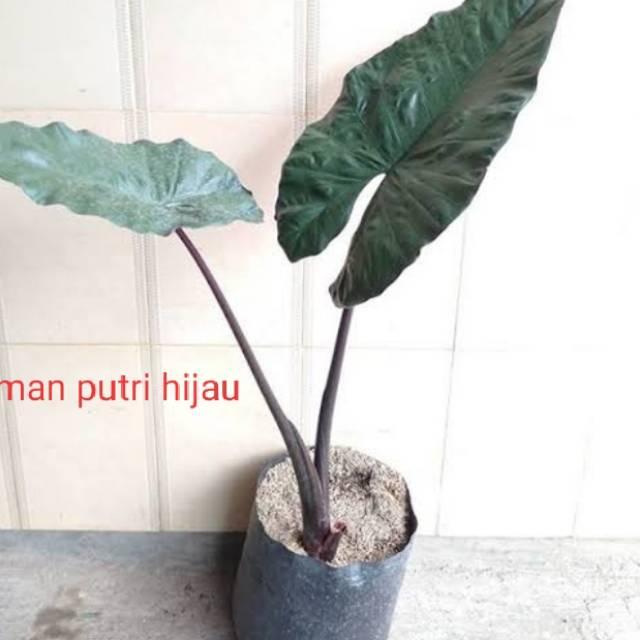 Tanaman Hias Keladi Hitam Sente Hitam Pohon Sente Hitam Shopee Indonesia