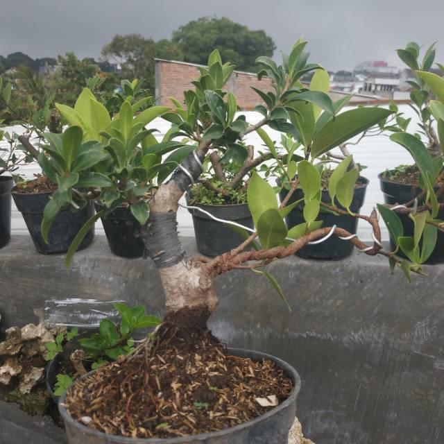 Bahan Bonsai Ficus Elegan Shopee Indonesia