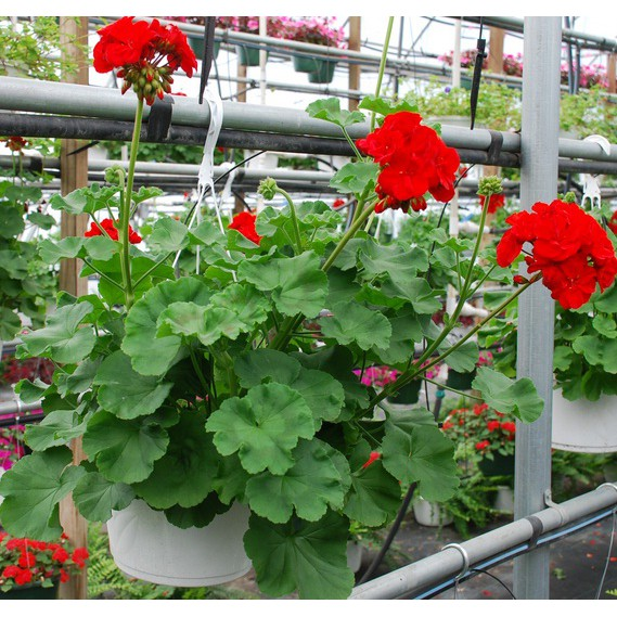 Tanaman Geranium Merah Red Pelargonium Bb Plant Shopee Indonesia