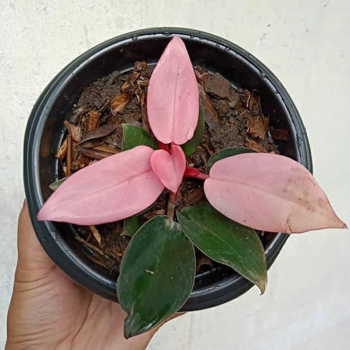 Baru Tanaman Hias Pink Kongo Philodendron Shopee Indonesia