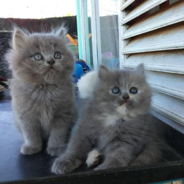 Kucing Persia Lucu Abu Shopee Indonesia