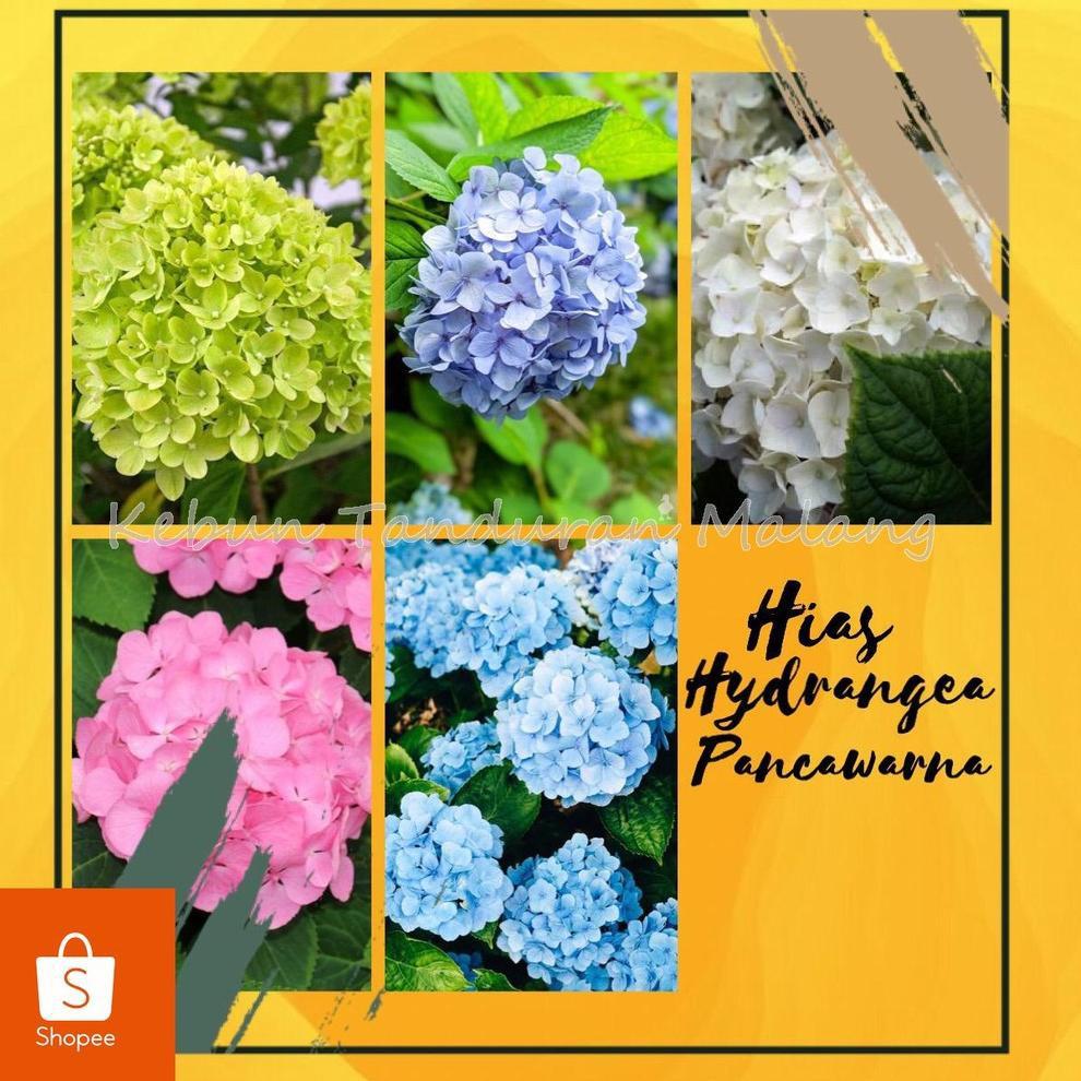 Kode X6286 Tanaman Hias Hydrangea Atau Pancawarna Berbagai Macam Warna Kondisi Berbunga Shopee Indonesia