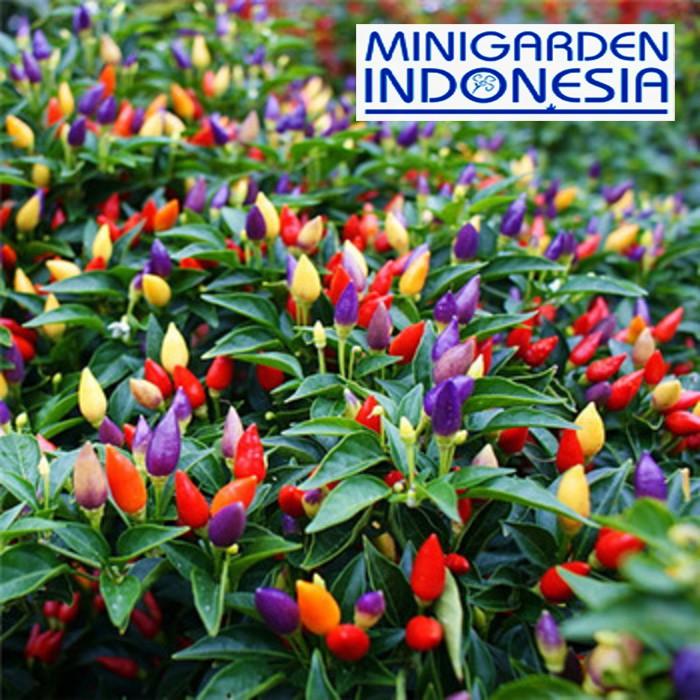 3 Benih Cabai Hias F1 Ornamental Chili Pepper Mr Fothergills Asli Bibit Tanaman Sayuran Cabe Shopee Indonesia