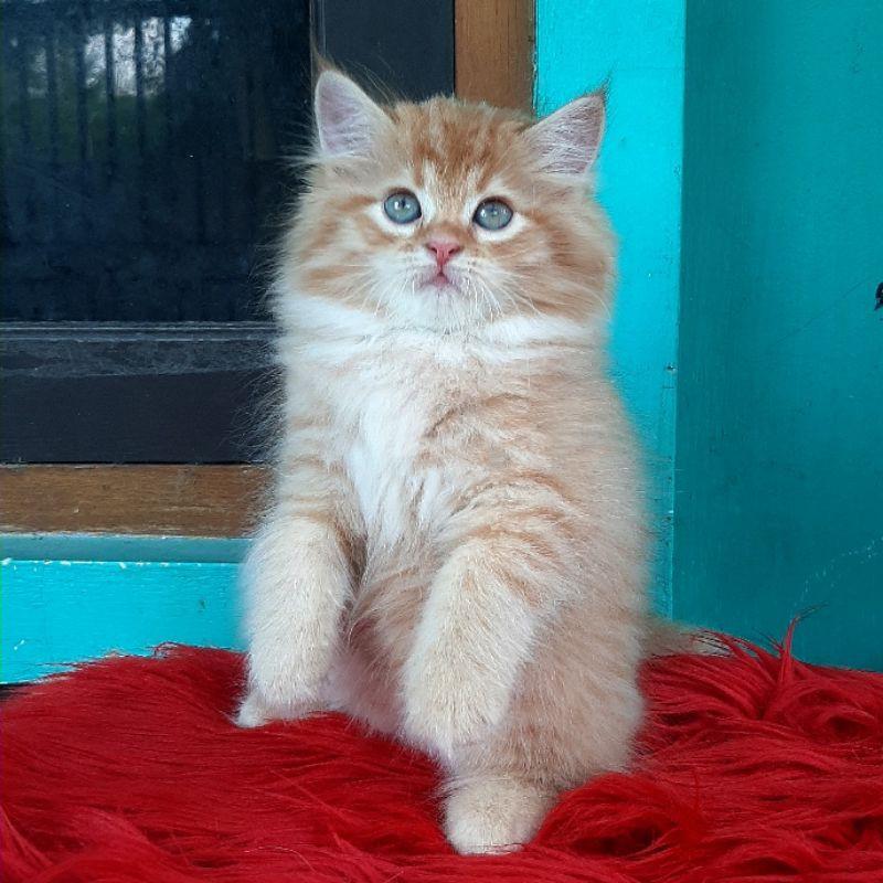 Kucing Kitten Persia Mix Mainecoon Usia 2 5 Bulan Lucu Joss Shopee Indonesia