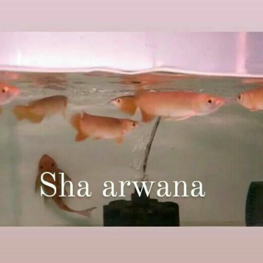 arwana super red baby ikan arwana super red sr