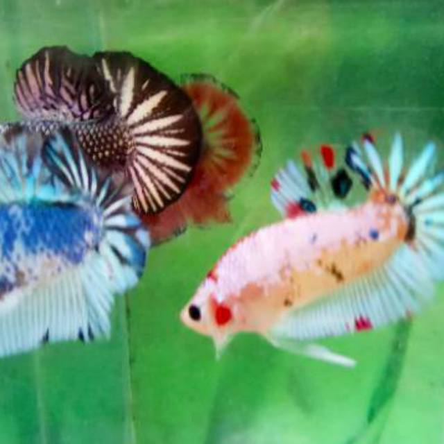 Ikan Cupang Baby Giant Multi Color Shopee Indonesia