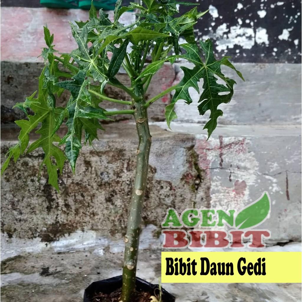 Bibit Pohon Daun Gedi Tanaman Daun Pepaya Jepang Herbal Shopee