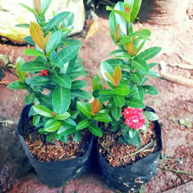 Bibit Tanaman Bunga Asoka India Pohon Soka India Bunga Merah Terlaris Shopee Indonesia
